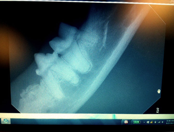 Dog Dental Xray